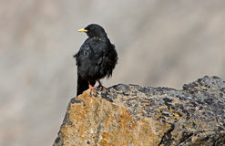 Alpiner Chough (Pyrrhocorax graculus), Stockfotografie