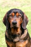 Alpiner Dachsbracke Hund Lizenzfreies Stockfoto