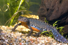 Alpiner Newt Stockbild