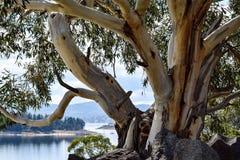 Alpiner 'Schnee-Gummi' auf den Ufern von See Jindabyne Australiens in der Snowy-Gebirgsregion stockfotografie