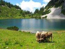 Alpiner See und Vieh Stockfotografie