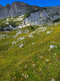 Alpiner silberner Distelzierpflanzenbau bei Rofan, Brandenberg Alpin Lizenzfreies Stockbild