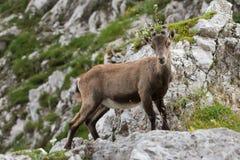 Alpiner Steinbock stockbilder