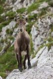 Alpiner Steinbock stockfoto