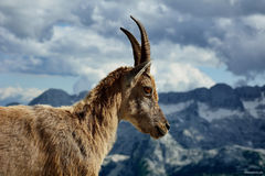 Alpiner Steinbock Lizenzfreies Stockbild