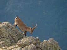 Alpiner Steinbockmann, der auf den Gipfel des Berges geht lizenzfreie stockfotografie