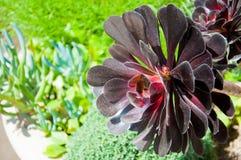 Alpiner Succulent Stockfoto