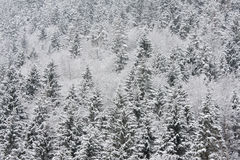 Alpiner Wald im Winter Stockbilder