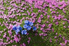 Alpines Blume Eritrichium-nanum arktisches alpines Vergissmeinnicht und Silene-acaulis als Hintergrund, das Aostatal, Italien Lizenzfreie Stockfotografie