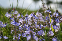 Alpines Blumenvergissmeinnicht Lizenzfreie Stockbilder