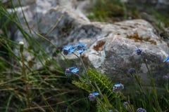 Alpines Blumenvergissmeinnicht Stockfotos