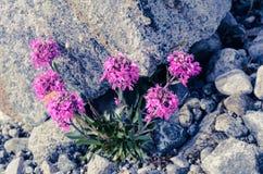 """Alpines gilliflower Arctic†""""unter dem Stein stockbilder"""