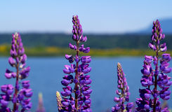 Alpines Lupins Royalty Free Stock Photos