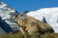 Alpines Murmeltier Lizenzfreies Stockfoto