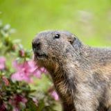 Alpines Murmeltier - Marmota Marmota Lizenzfreies Stockbild