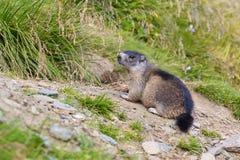Alpines Murmeltier (Marmota Marmota) Stockfoto