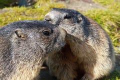 Alpines Murmeltier (Marmota Marmota) Lizenzfreie Stockfotografie