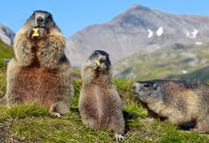 Alpines Murmeltier (Marmota Marmota) Stockbild