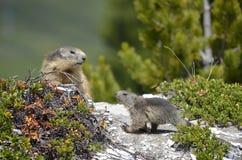 Alpines Murmeltier und seine Junge Stockfotografie