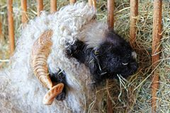 Alpines Steinschaf (Stone sheep) Stock Images