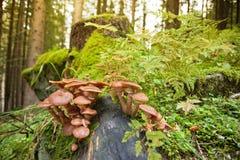 Alpines Unterholz: Fokus auf Pilzen lizenzfreies stockfoto