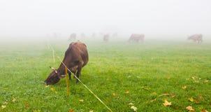 Alpines Vieh IV Stockbilder