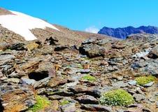 Alpines wciąż skupia się w ich poduszkach fotografia royalty free