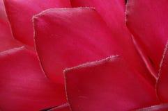 Alpinia kwiatu płatki Fotografia Royalty Free
