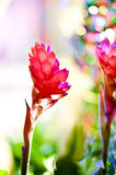 Alpinia purpurata flower in jungle Stock Photo