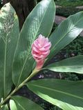 Alpinia purpurata o fiore dello zenzero rosso Immagini Stock