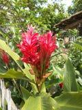 Alpinia purpurata o fiori dello zenzero rosso Fotografia Stock