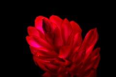 Alpinia purpurata - zenzero rosso Fotografia Stock