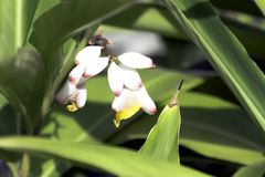 Alpinia zerumbet, commonly known as shell ginger in Varadero, Cuba. Alpinia zerumbet, commonly known as shell ginger, pink porcelain lily, variegated ginger or Stock Images