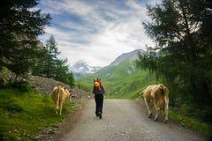 Alpinista che cammina accanto alle mucche sul suo modo scalare Grossglockner Immagine Stock