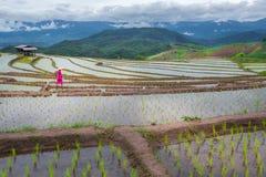 Alpinista non identificato che pianta riso Fotografie Stock Libere da Diritti