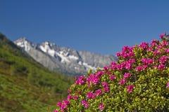 Alpino è aumentato Fotografia Stock