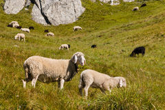 Alpino poti le pecore eared e l'agnello che pascono sul prato Fotografie Stock Libere da Diritti