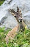 Alpino selvaggio femminile, capra ibex, o stambecco delle Alpi Immagine Stock