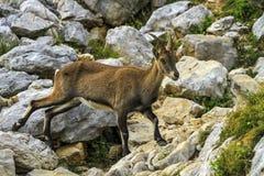 Alpino selvaggio femminile, capra ibex, o stambecco delle Alpi Fotografie Stock Libere da Diritti