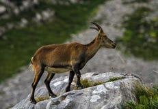 Alpino selvaggio femminile, capra ibex, o stambecco delle Alpi Immagini Stock