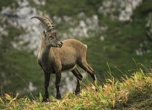 Alpino selvaggio maschio, capra ibex, o stambecco delle Alpi Immagini Stock Libere da Diritti