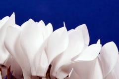 alpino viola del fiore Fotografia Stock Libera da Diritti