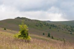 Alpint beta och ett sörjaträd Royaltyfri Fotografi
