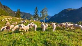 Alpint betar i slovenska fjällängar Höst Slovenien Royaltyfria Foton