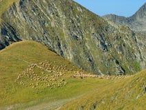 Alpint landskap med flocken av får Arkivbilder