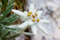 Alpinum/Ðdelweiss del Leontopodium Fotografie Stock Libere da Diritti