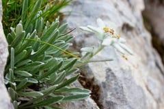 Alpinum/Ðdelweiss del Leontopodium Immagine Stock