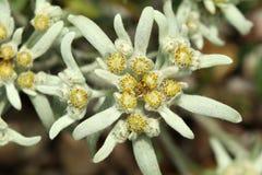Alpinum alpino del Leontopodium dell'edelweiss in fiore Immagini Stock Libere da Diritti