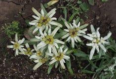 Alpinum Cass van Leontopodium van edelweissbloemen royalty-vrije stock afbeeldingen