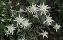Alpinum Cass van Leontopodium van edelweissbloemen stock fotografie